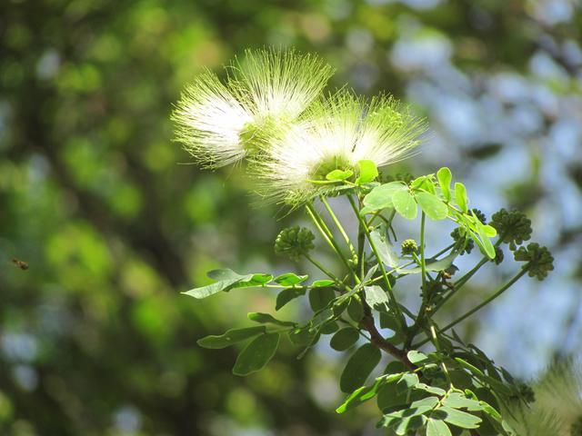 Siris Tree