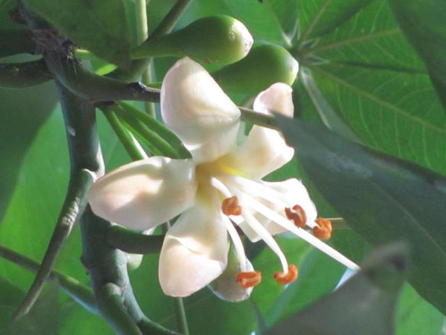 White Silk Cotton Tree