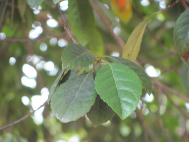 Ceylon Olive Tree