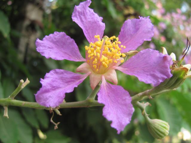 purple pride of india tree
