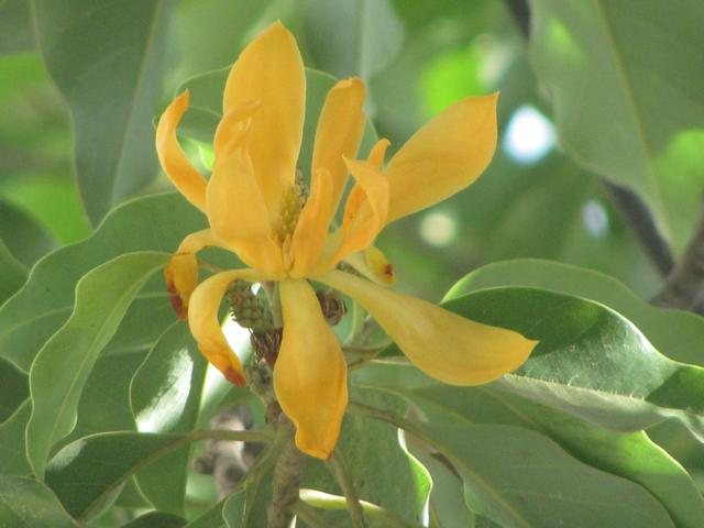 Golden Champak Tree