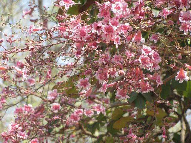 Pink Jacaranda Tree