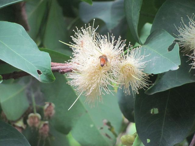 Wax Apple Tree