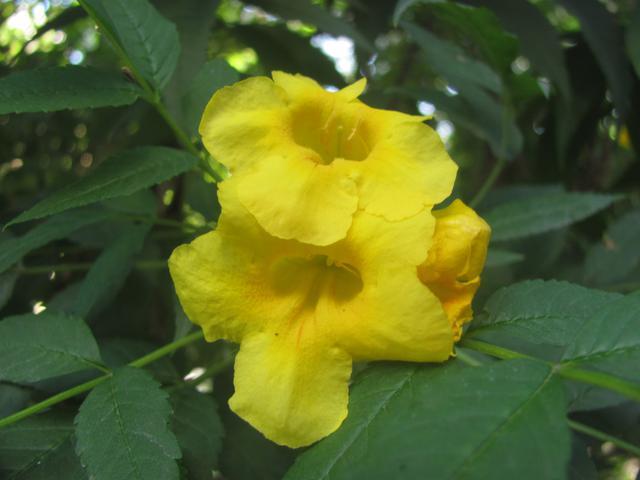 Yellow bells tree flower single mightylinksfo