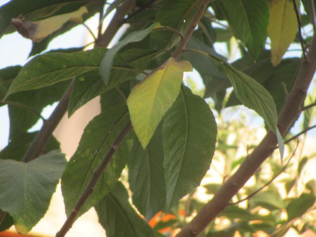 Bitterleaf Tree